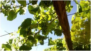 uva-albarino-en-O-Salnes