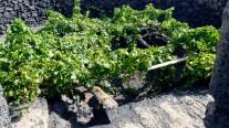 chaboco-uva-moscatel-lanzarote