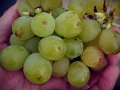 uva-moscatel-bodegas-el-grifo
