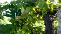 uva-albarino-en-O-Salnes-Rias-Baixas