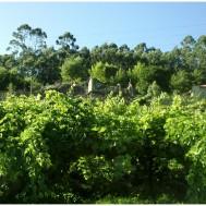 Vinedo-y-casas-en-Rias-Baixas
